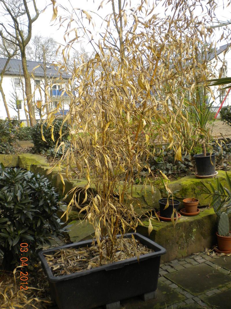 palmen und co. » bambus abschneiden?, Garten Ideen