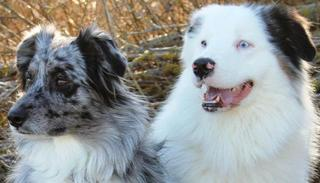 scheinschwangerschaft hund homöopathie