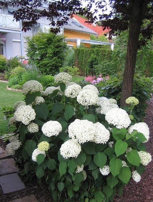 begleitpflanzen zu hortensien suche begleitpflanzen zu. Black Bedroom Furniture Sets. Home Design Ideas