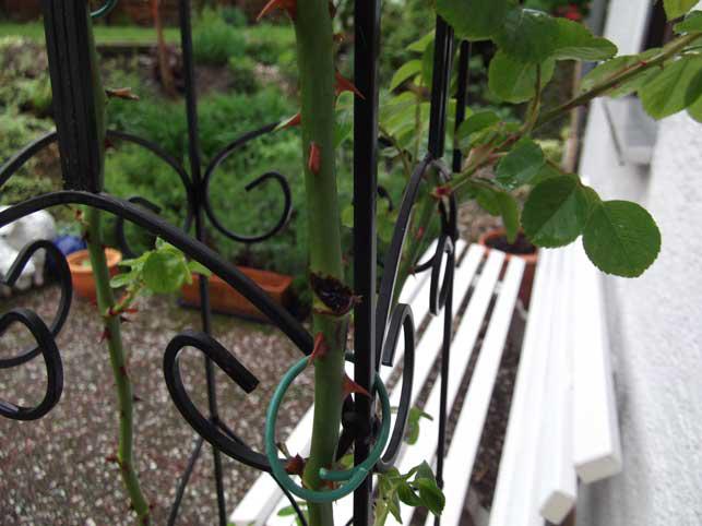 jasmina kletterrose ist krank seite 1 pflanzendoktor. Black Bedroom Furniture Sets. Home Design Ideas
