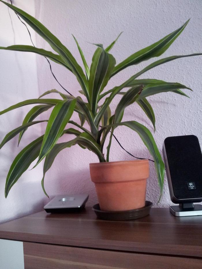 liste zimmerpflanzen giftig und ungiftig seite 12 katzen forum. Black Bedroom Furniture Sets. Home Design Ideas