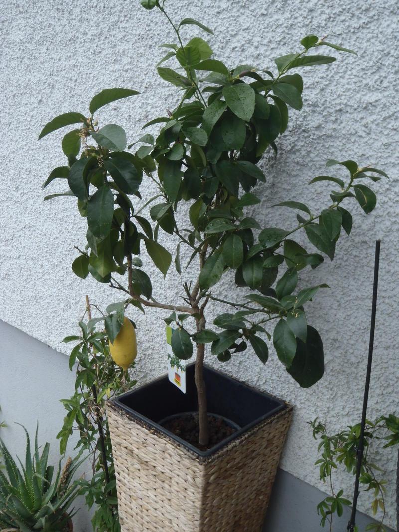 palmen und co frage zu olievenbaum und zitrusbaum. Black Bedroom Furniture Sets. Home Design Ideas