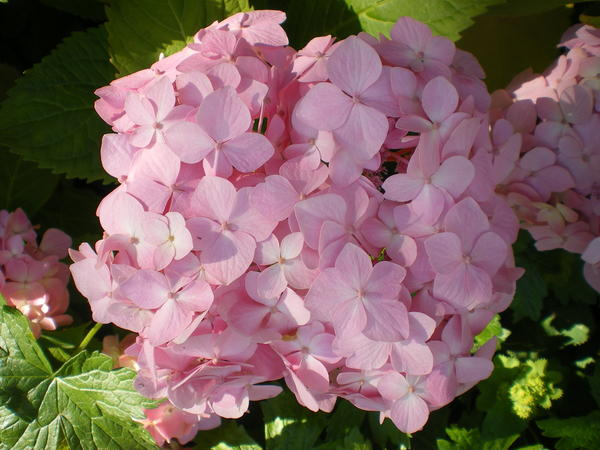 hydrangea hortensien 2012 seite 4 foto treff mein. Black Bedroom Furniture Sets. Home Design Ideas