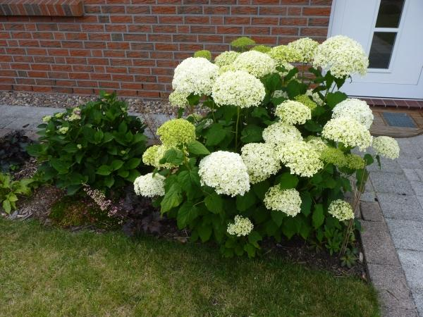 hydrangea hortensien 2012 page 5 mein sch ner garten. Black Bedroom Furniture Sets. Home Design Ideas