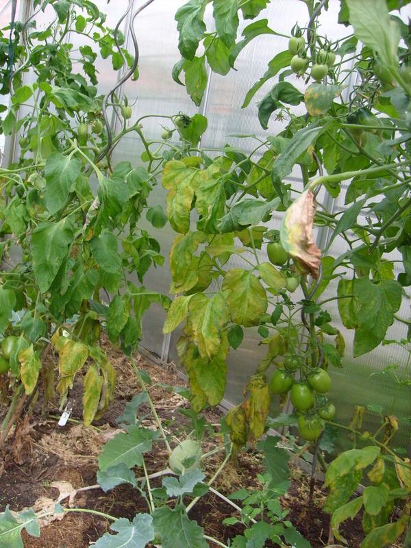 tomaten welken - Seite 2 - Pflanzendoktor - Mein schöner ...