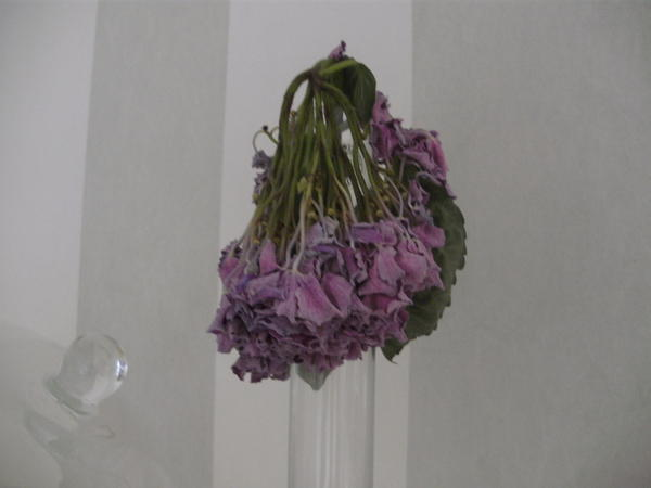 Hortensien Trocknen hortensienblüten trocknen page 2 mein schöner garten forum