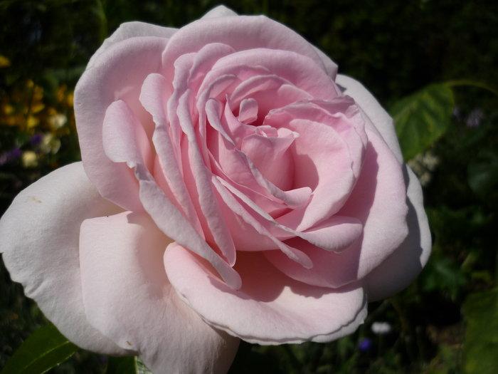 zeigt her eure rosen 2012 seite 12 rund um die rose mein sch ner garten online. Black Bedroom Furniture Sets. Home Design Ideas