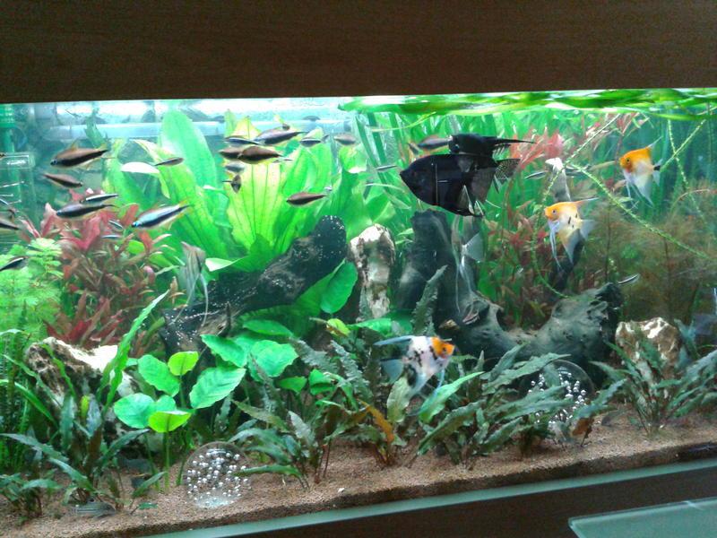 Zuckende skalare for Skalar aquarium