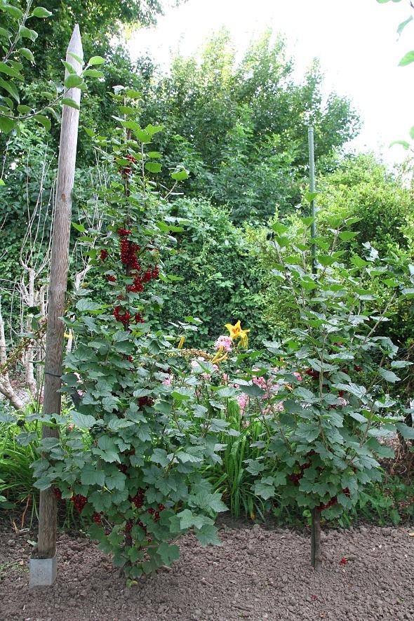 pflegeleichte unterpflanzung f r beerenstr ucher mein. Black Bedroom Furniture Sets. Home Design Ideas