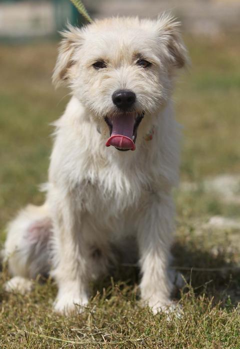 Baschka, ein Jack Russel Terriermixwelpe: ihre Schwester durfte zu mir, seeeehr anhänglich - 11547551wz