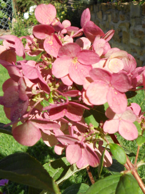 rispenhortensie hydrangea paniculata wims red seite 1 pflanzenfragen mein sch ner garten. Black Bedroom Furniture Sets. Home Design Ideas