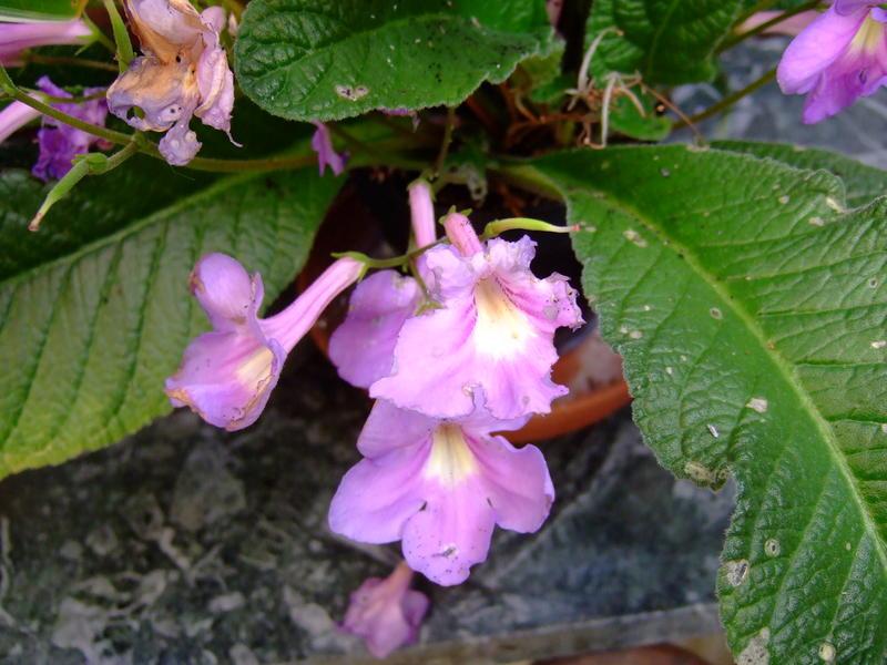hilfe oleander bekommt gelbe blätter