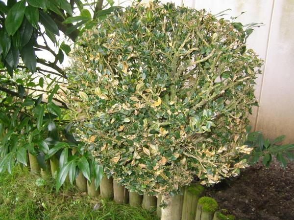 buchsbaum braune bl tter hilfe mein buchsbaum bekommt gelbe bl tter buchsbaum krankheiten und. Black Bedroom Furniture Sets. Home Design Ideas