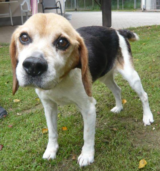 Rasse: Beagle-Mischling