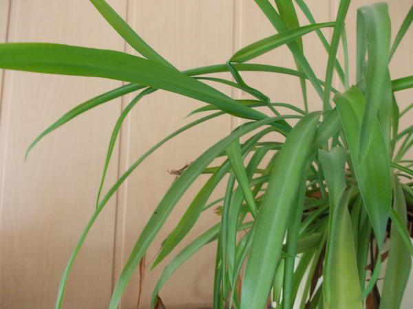 liste zimmerpflanzen giftig und ungiftig seite 15. Black Bedroom Furniture Sets. Home Design Ideas