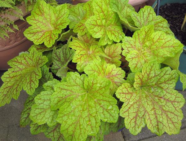 heuchera heucherella tiarella page 15 mein sch ner garten forum. Black Bedroom Furniture Sets. Home Design Ideas