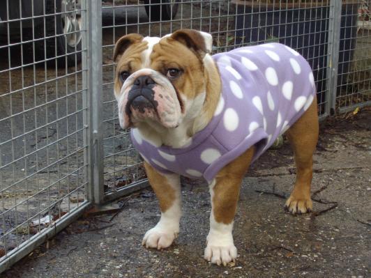 Ein Jäckchen für den Bully - Seite 2 - Englische Bulldogge Forum