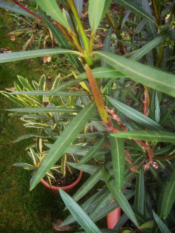 re oleander nerium oleander 4. Black Bedroom Furniture Sets. Home Design Ideas