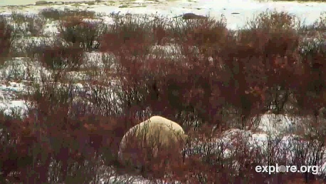 arktischer wasservogel 3 buchstaben