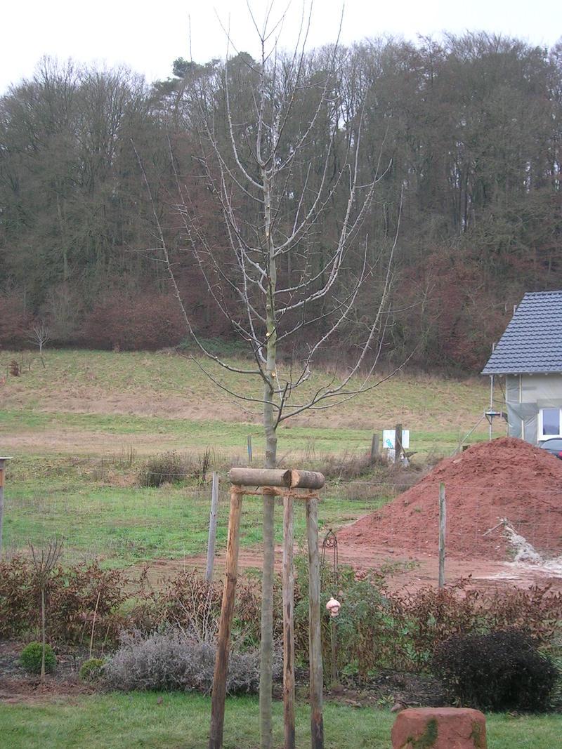 gro en apfelbaum pflanzen mein sch ner garten forum. Black Bedroom Furniture Sets. Home Design Ideas