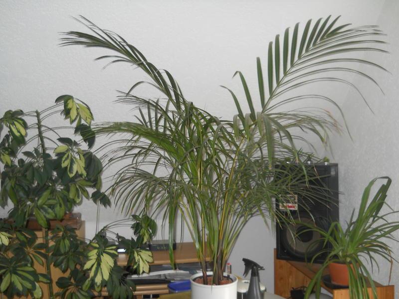 Meine palmen seite 1 palmen - Zimmerpalme arten ...
