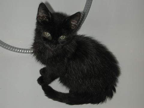 deutschland kleiner schwarzer schmusepanther preto 10 2012 ps 45 sucht ein zuhause. Black Bedroom Furniture Sets. Home Design Ideas