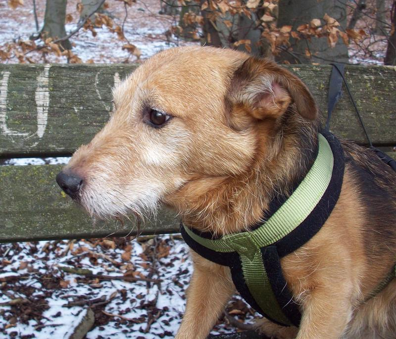 Jack - Hundeopa - Terrier - knapp 14 Jahre 13402377il