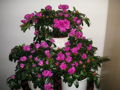 Blühende Zimmerpflanzen endabstimmung quot blühende zimmerpflanzen quot
