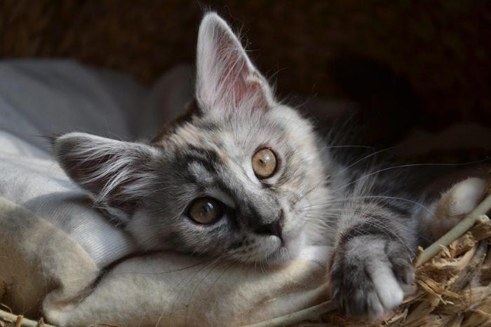 zwei maine coon babies ziehen ein noch einige fragen katzen forum. Black Bedroom Furniture Sets. Home Design Ideas