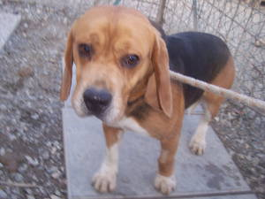 Scotti der Beagle 14062830xa