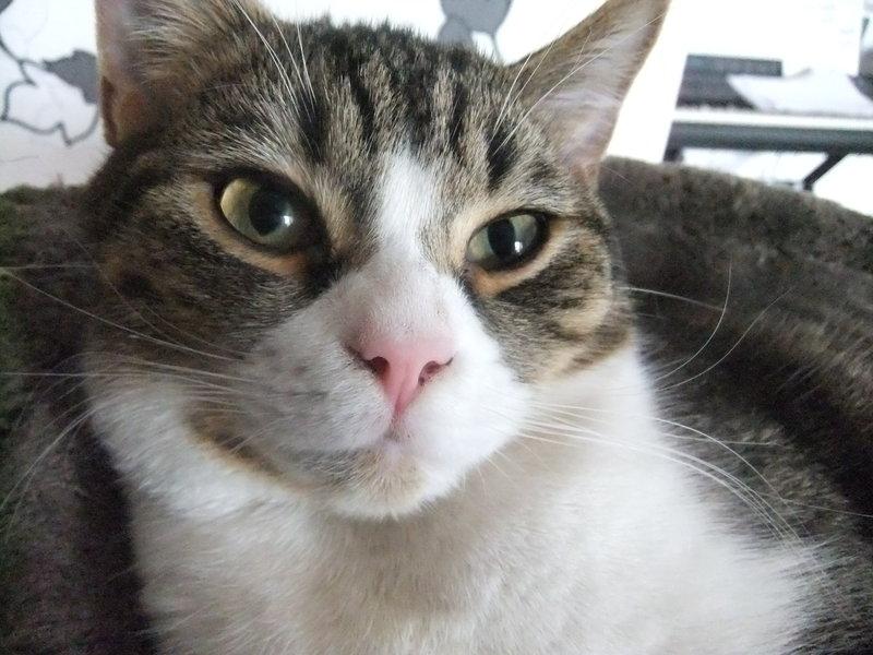 Grau Getigerte Katze Farbe Grau Getigert