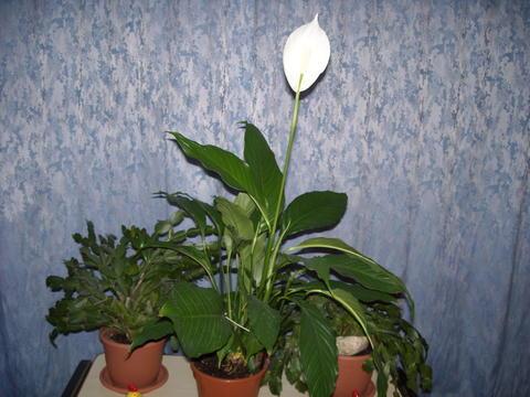 Plaudereien ber zimmerpflanzen und andere sch ne dinge for Zimmerpflanzen umpflanzen