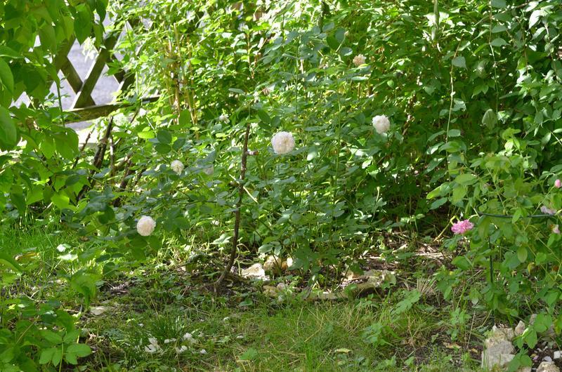 welche historische rosen muss man haben seite 3 rund um die rose mein sch ner garten online. Black Bedroom Furniture Sets. Home Design Ideas