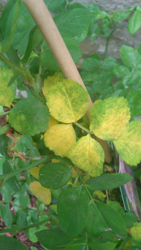hilfe frisch gepflanzte jasmina bekommt von unten gelben bl tter mein sch ner garten forum. Black Bedroom Furniture Sets. Home Design Ideas