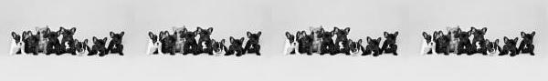 französische bulldogge mops forum - Das kleine Bullyforum - Portal 14601495ku