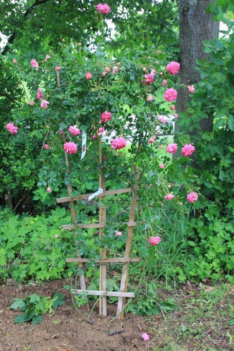 rosen aus steinfurth s dler rosen steinfurth romantische. Black Bedroom Furniture Sets. Home Design Ideas