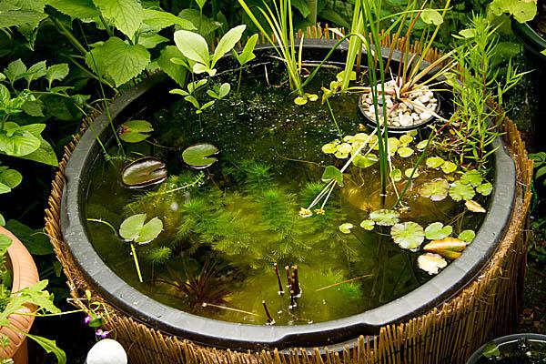 pflanzauswahl für miniteich - seite 67 - gartenteich - mein, Hause und Garten