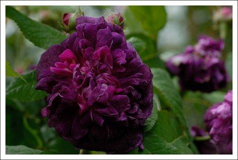 kraut und rosen gibt es dunkle rosen denen ein sonniger platz nichts ausmacht. Black Bedroom Furniture Sets. Home Design Ideas