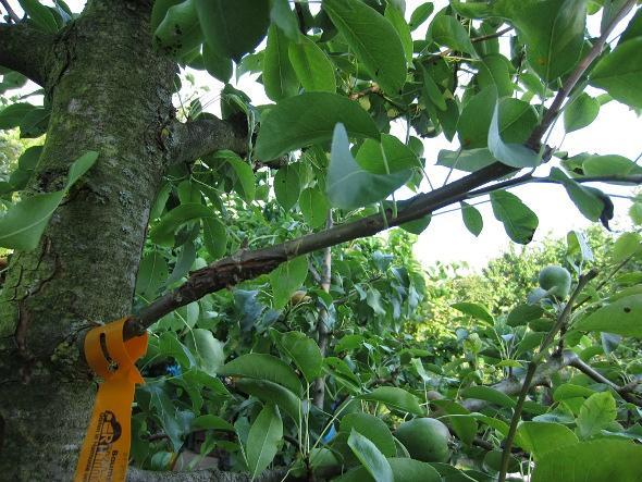 Apfelbaum Steckling