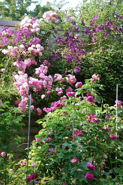 rosier bloomfield abondance