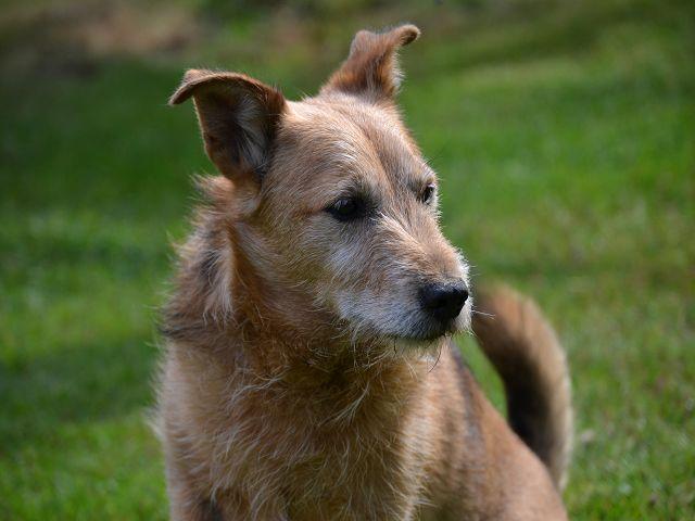 Jack - Hundeopa - Terrier - knapp 14 Jahre - Seite 2 15380554ga