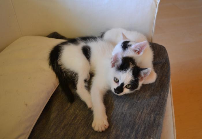 Katzenkinder suchen Zuhause 16017853ze