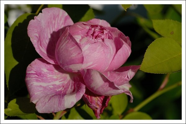 alte rosensorten 16139469vi