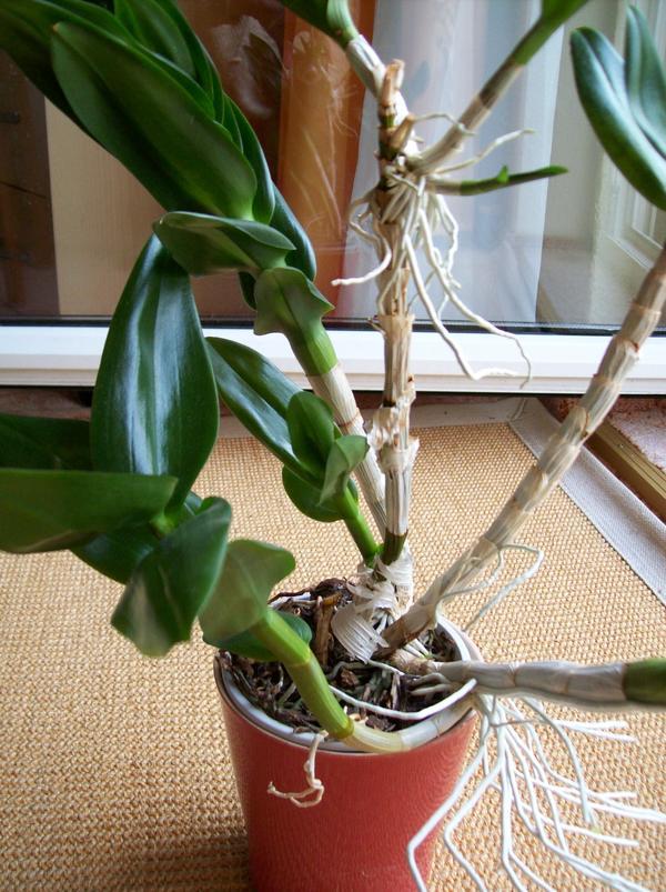orchidee wieder zum bluhen bringen