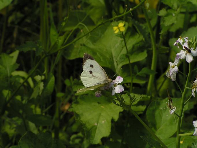 Schmetterlinge / Falter 16296599qq