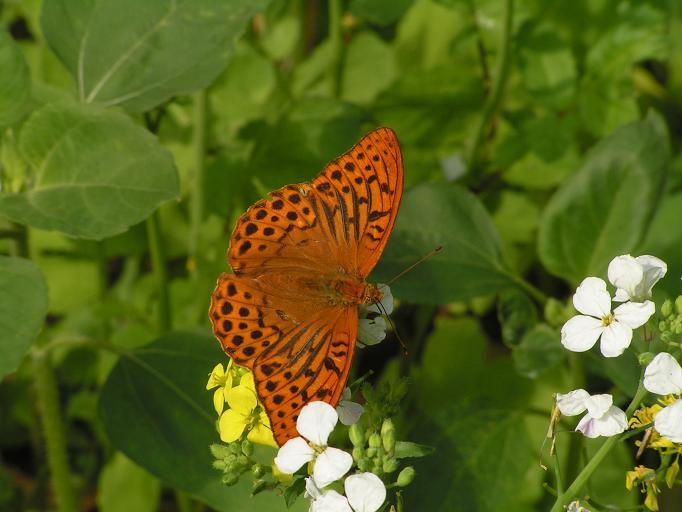 Schmetterlinge / Falter 16296600hy