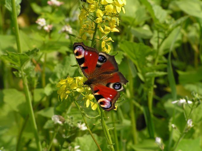 Schmetterlinge / Falter 16296606uj