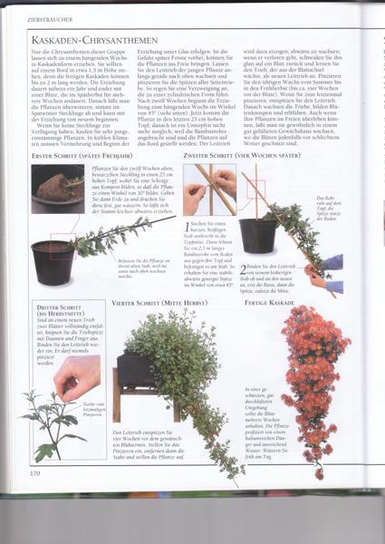 Kaskaden Chrysanthemen Mein Sch Ner Garten Forum