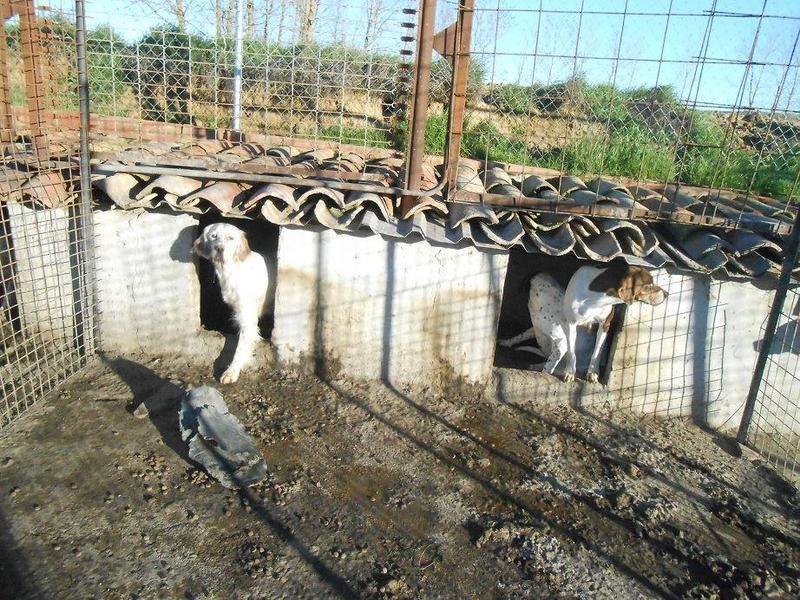 Dringender Spendenaufruf für 30 verwahrloste Hunde aus Sahagun/Spanien 16743454rq
