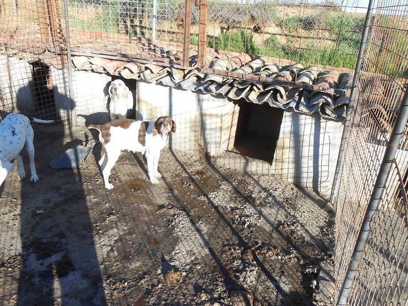 Dringender Spendenaufruf für 30 verwahrloste Hunde aus Sahagun/Spanien 16743475lf